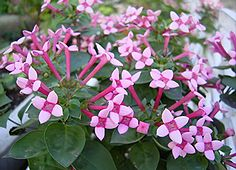ブバルディアの花