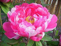 冬牡丹の花