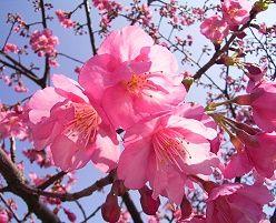 河津桜 (かわづざくら)