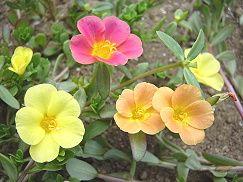 松葉牡丹の花