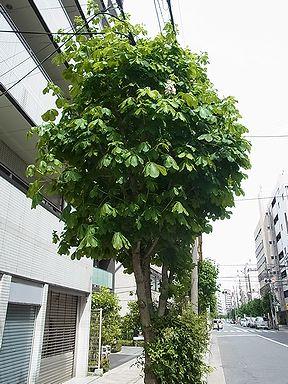 栃の木(とちのき)、マロニエ  写真集 5
