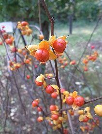 ツルウメモドキの花