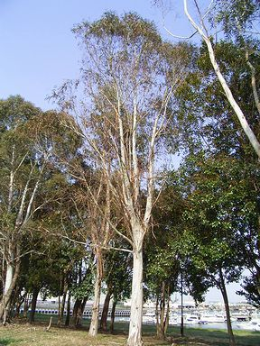 ユーカリの木写真集 1